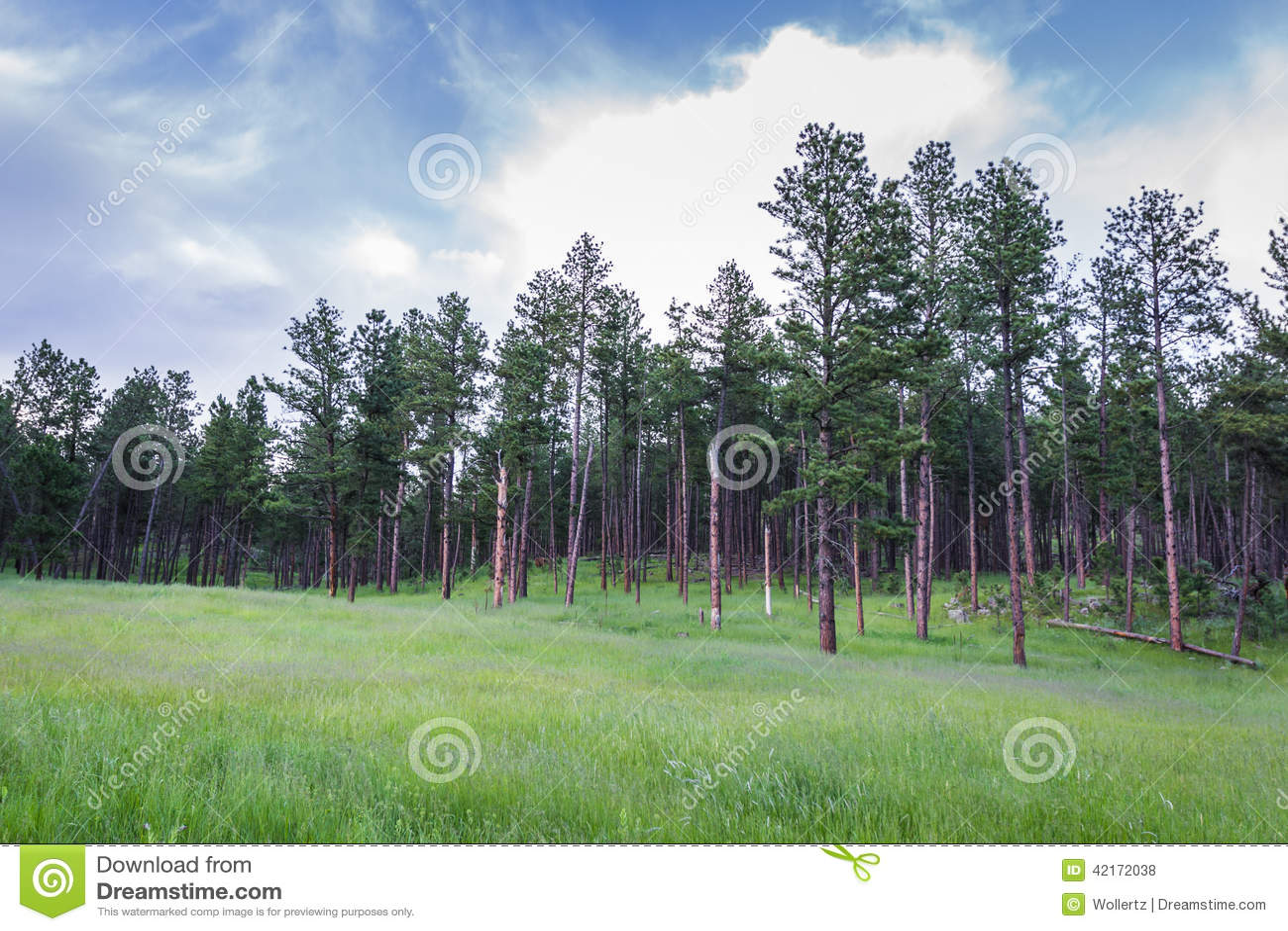 Pine trees in South Dakota