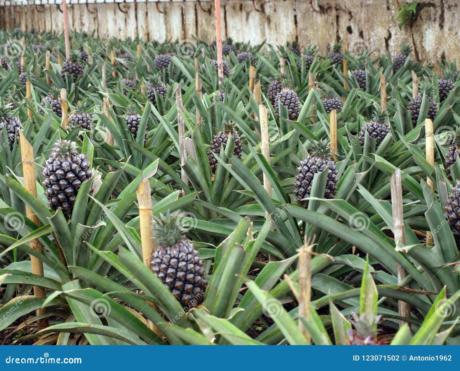 Pineapple plantation Ponta Delgada Azores Portugal