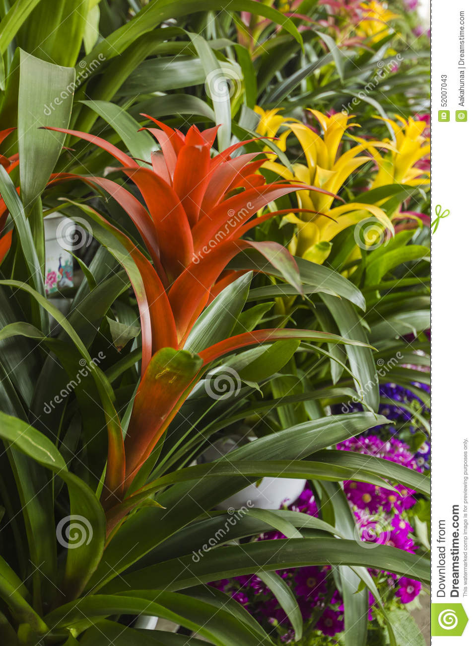 Pineapple flower stock image. Image of houseplant, nature - 52007043
