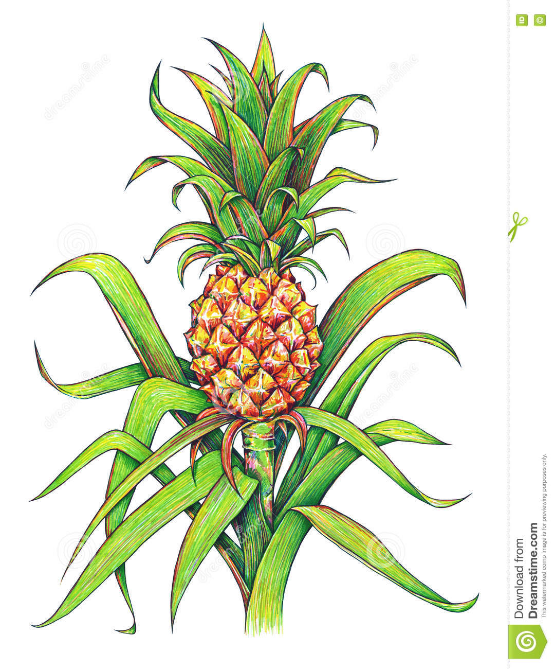 Pineapple With Green Leaves Tropical Fruit Growing In A Farm ...
