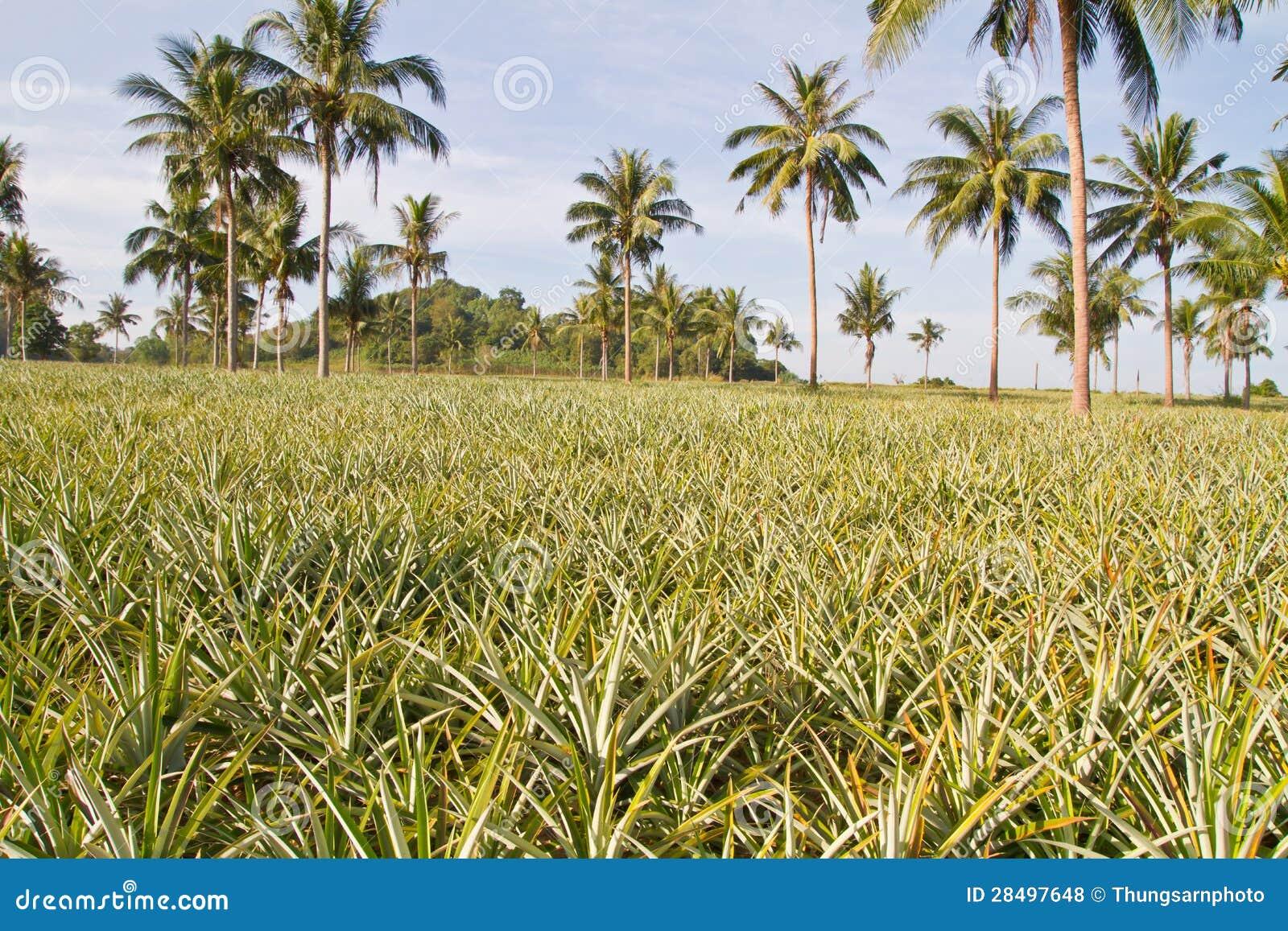 Pineapple Plant Farm Stock Photo Image Of Freshness