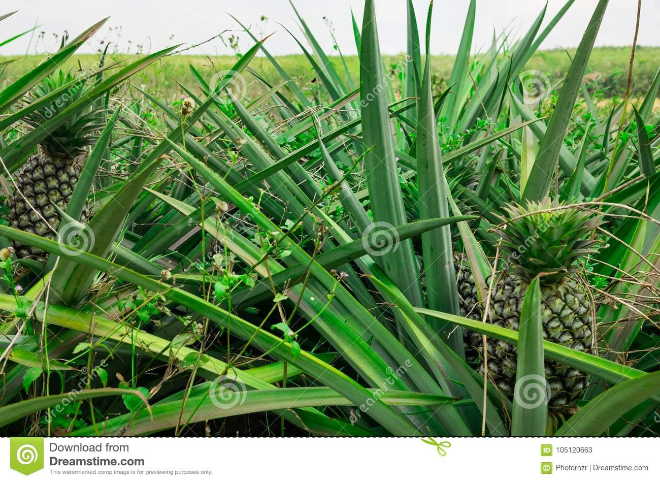 Pineapple Plant Field Stock Image Of Landscape