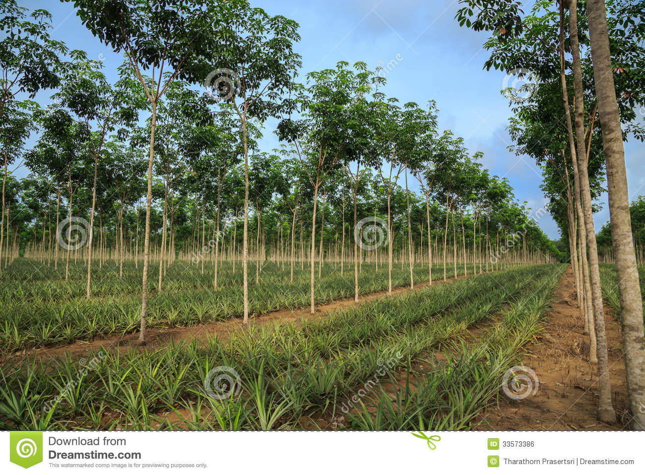 Pineapple And Rubber Tree Plantation Royalty Free Stock