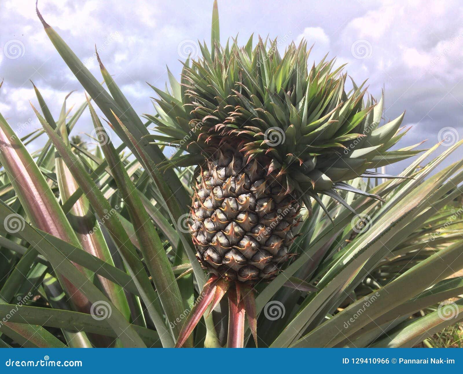 Pineapple on tree in the garden.