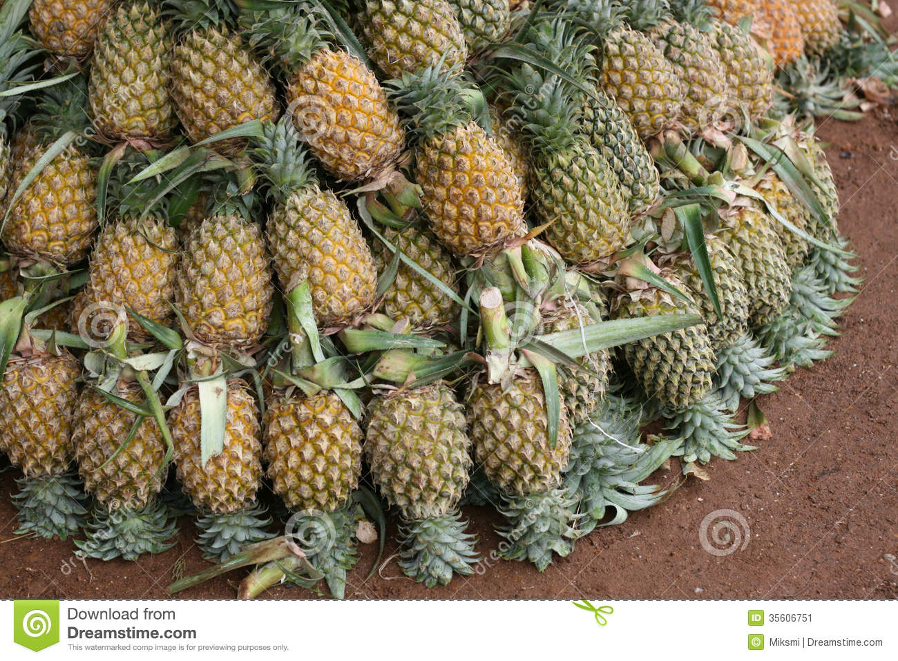 Stock image pineapples image 35606751 for Pineapple in the ground