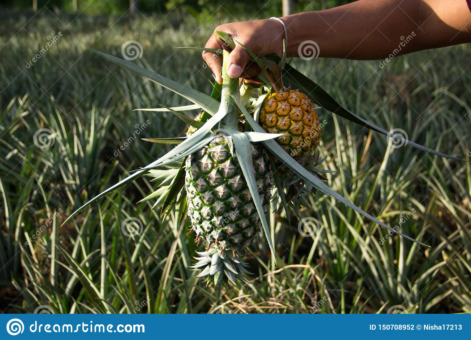 Keep the pineapple cooked at the garden