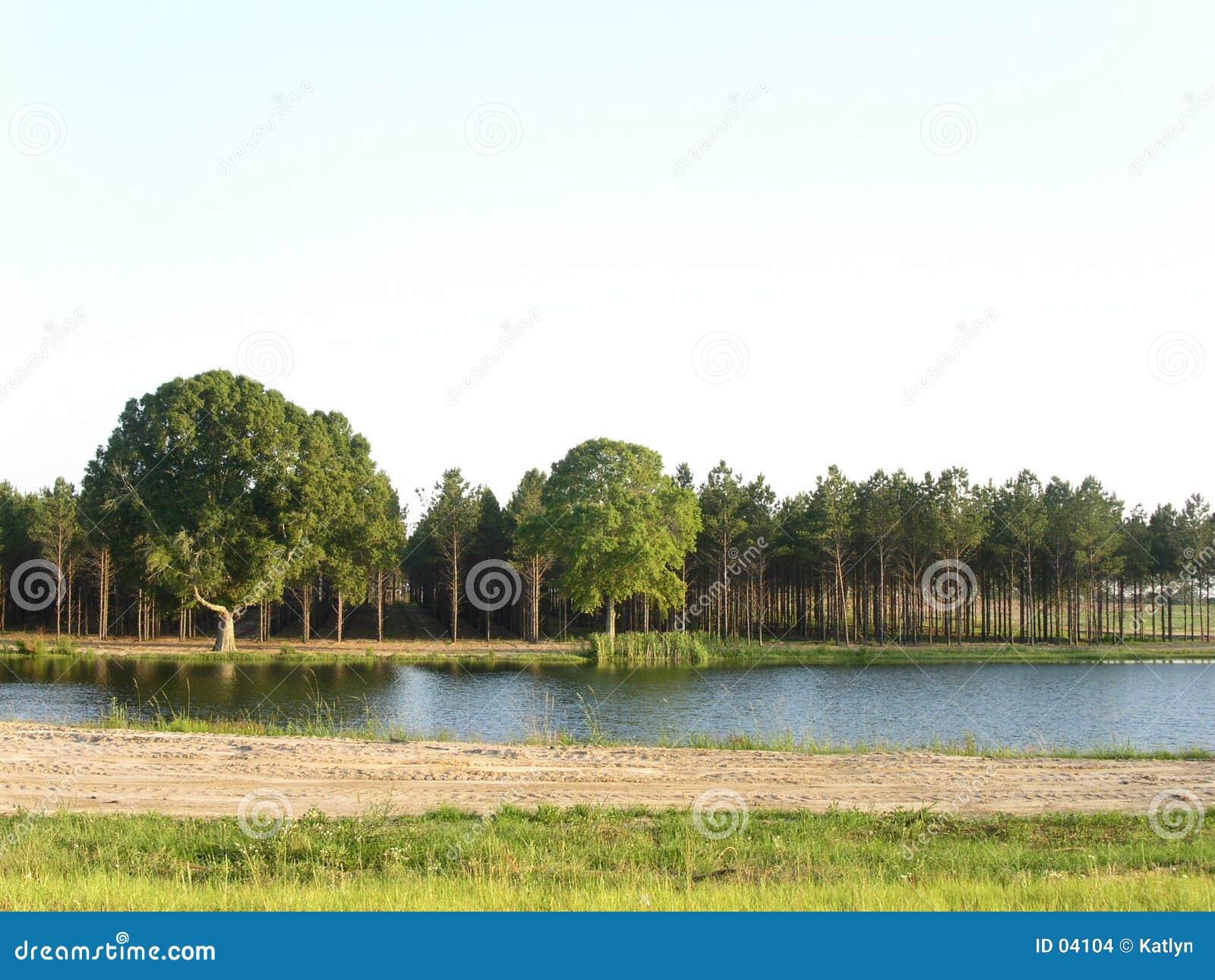 Pines & pond