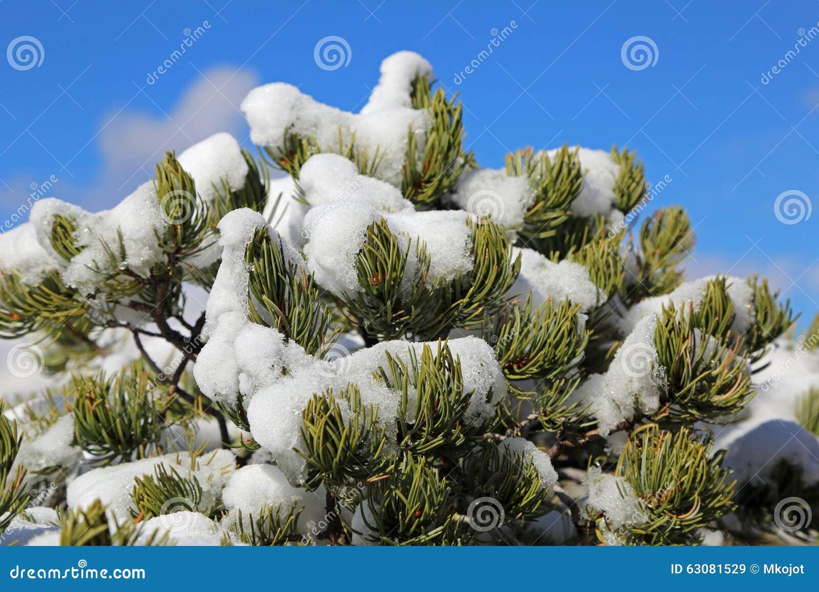 Download Pinetree A Couvert De Neige Image stock - Image du arbre, blanc: 63081529