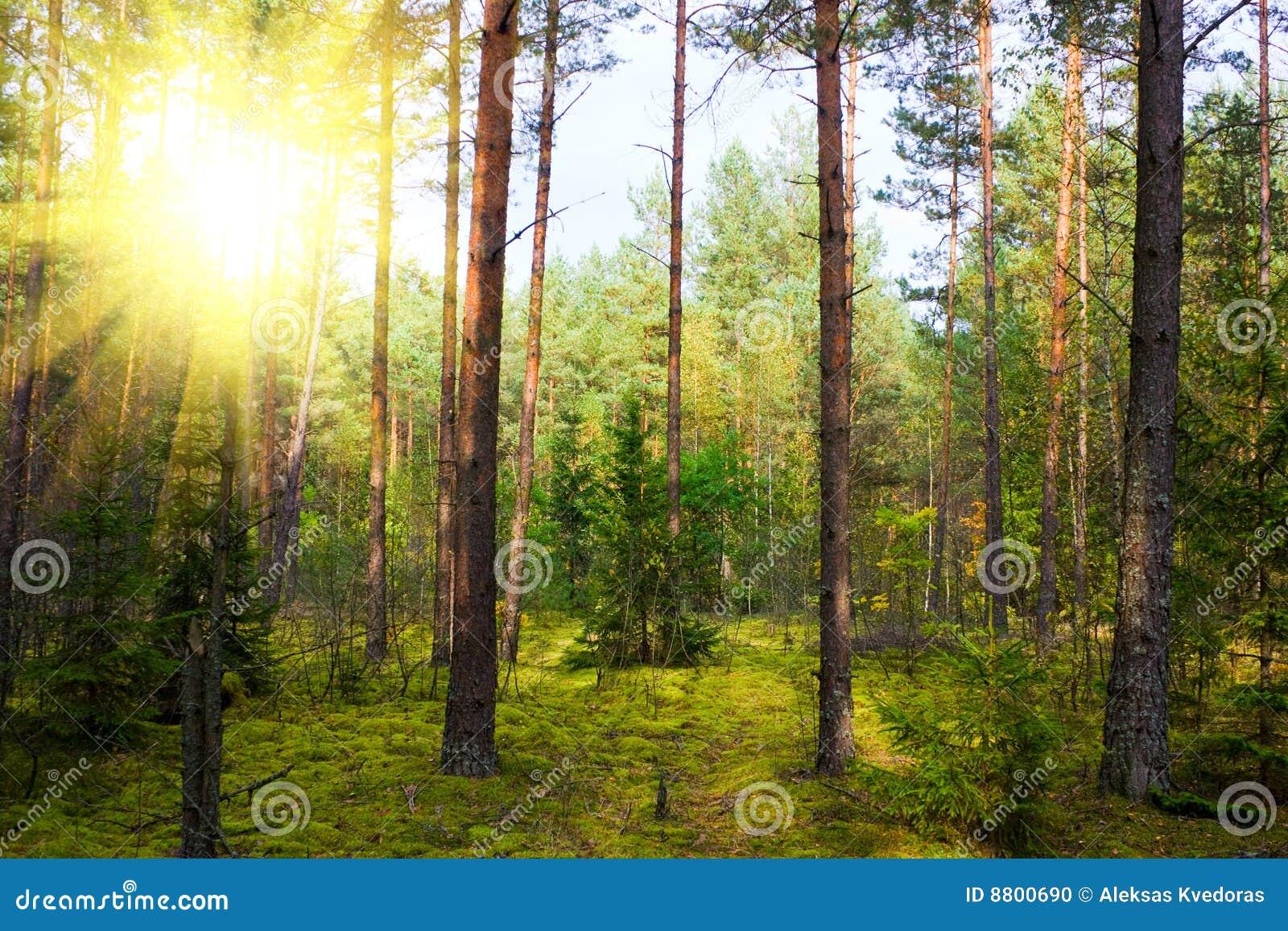 Pinewood φθινοπώρου