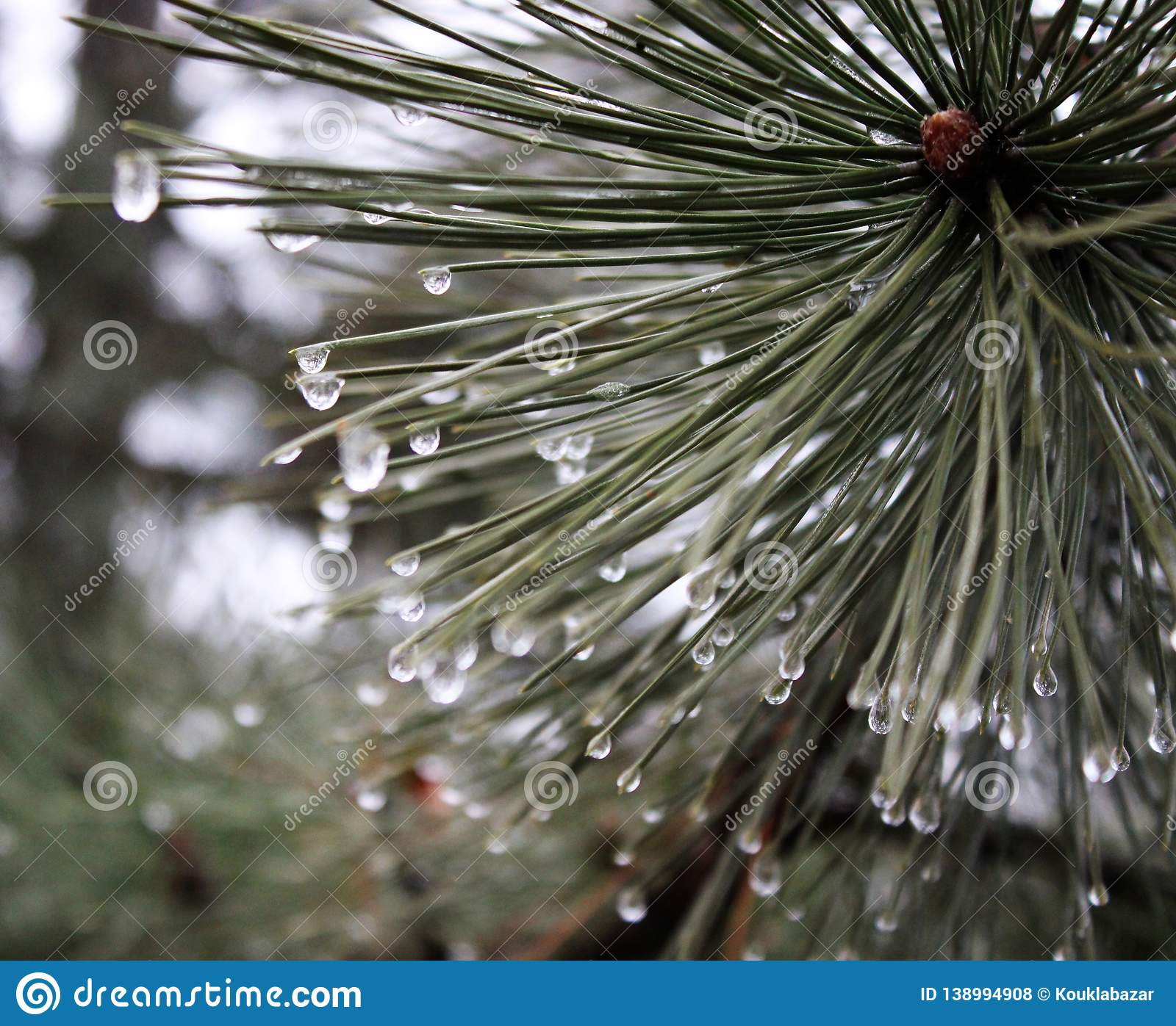 Pinewood with waterdrops