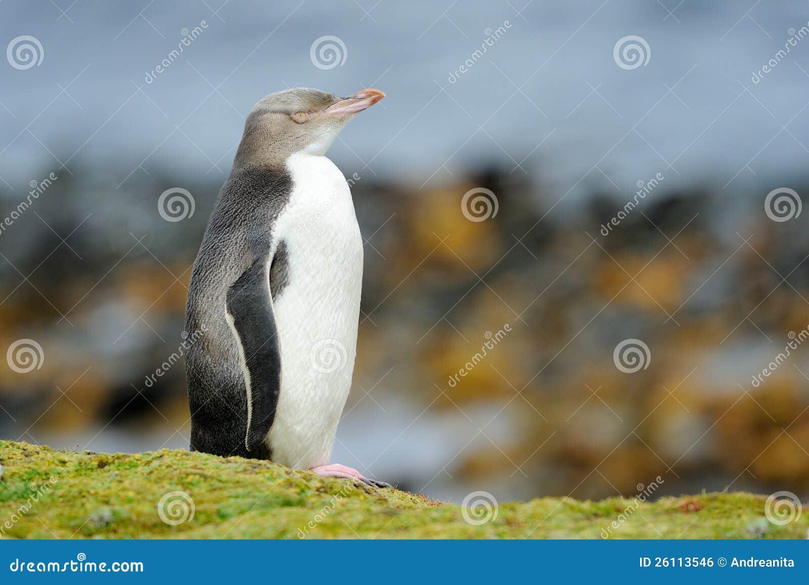 Pingüino Amarillo-eyed