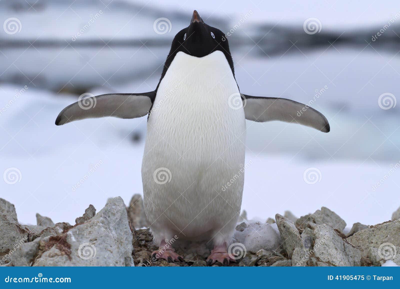 Pingüino de Adelie que se coloca cerca de la jerarquía