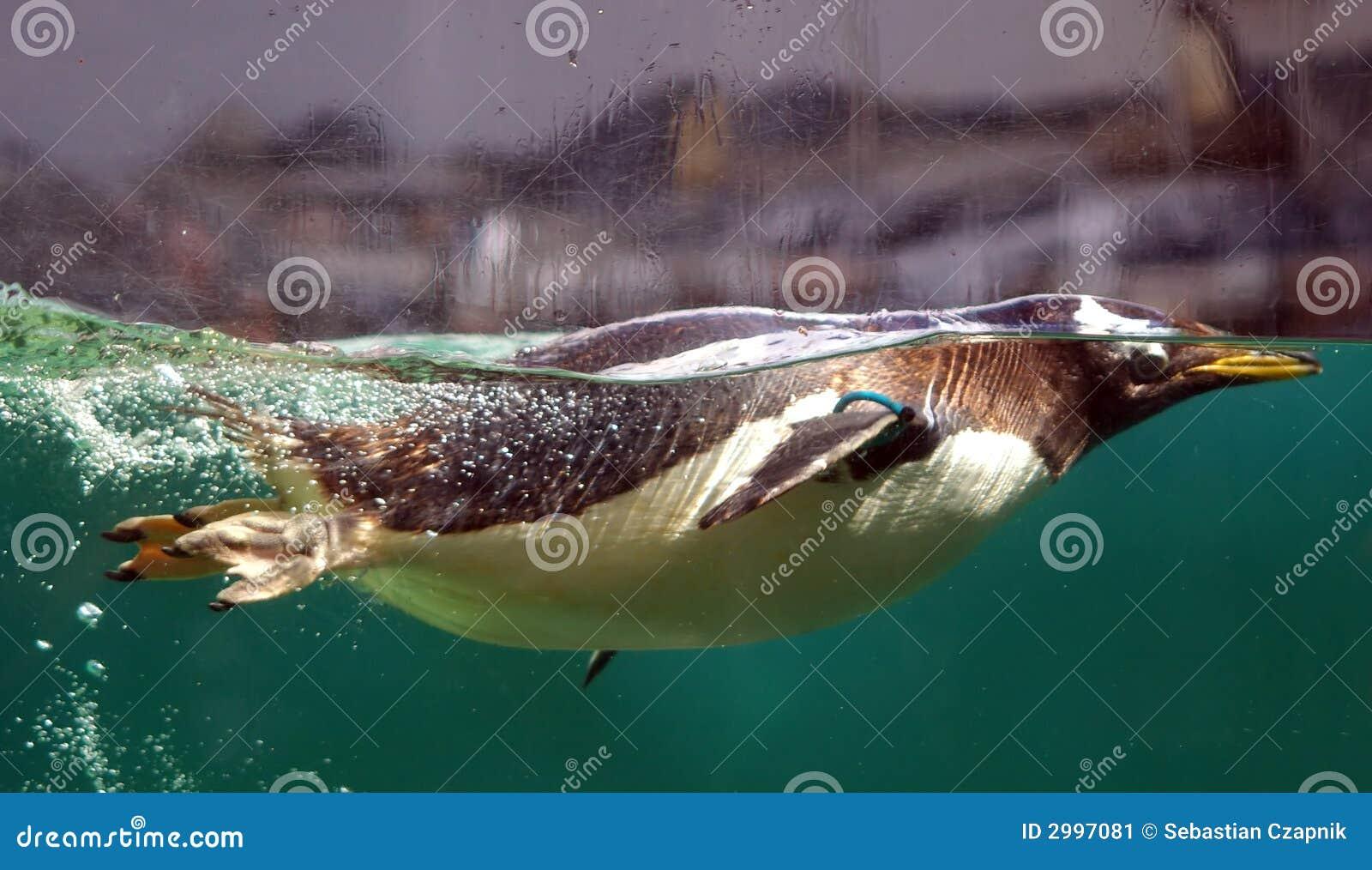 Pingüino de la natación