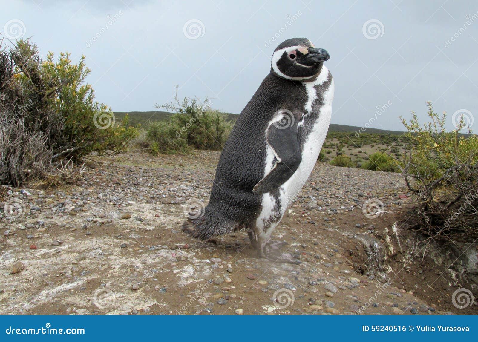 Download Pingüino de Magellan foto de archivo. Imagen de brazil - 59240516