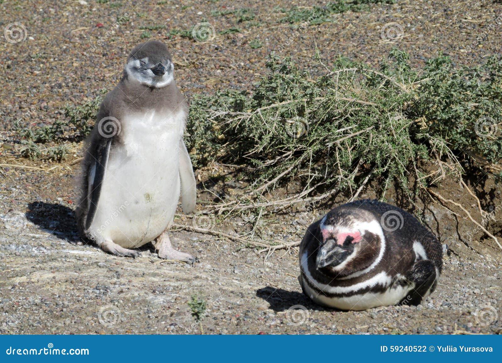 Download Pingüino de Magellan foto de archivo. Imagen de magellan - 59240522