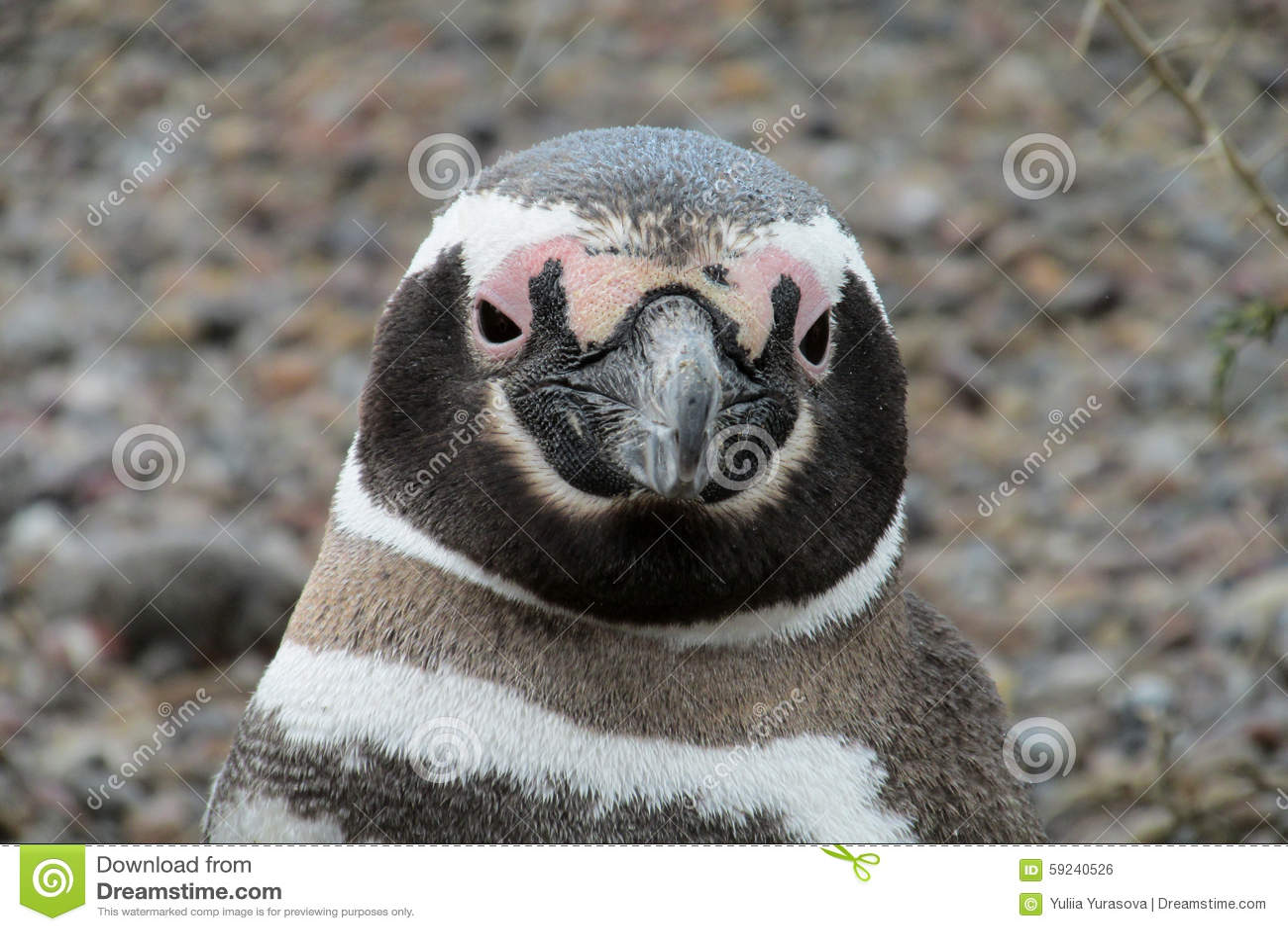 Pingüino de Magellan