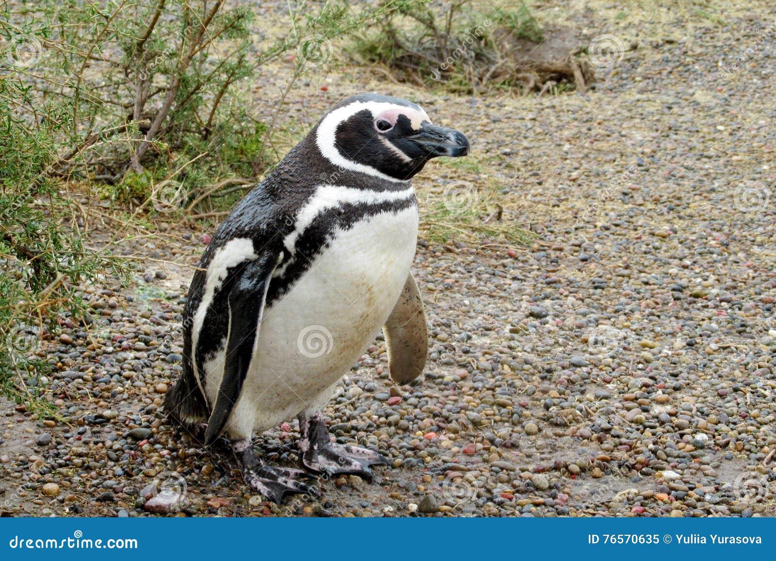 Pingüino de Magellan en el salvaje