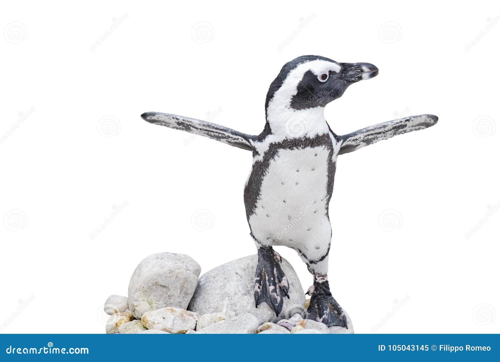 Pingüino Del Bebé Con Las Alas Extendidas En Rocas Imagen de archivo ...