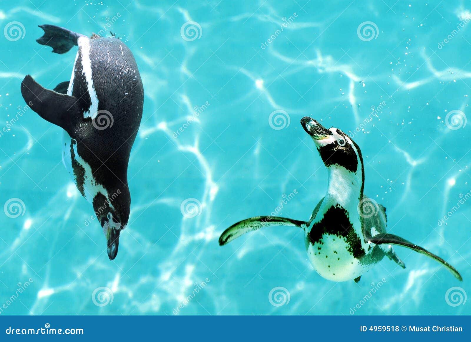 Pingüinos bajo el agua