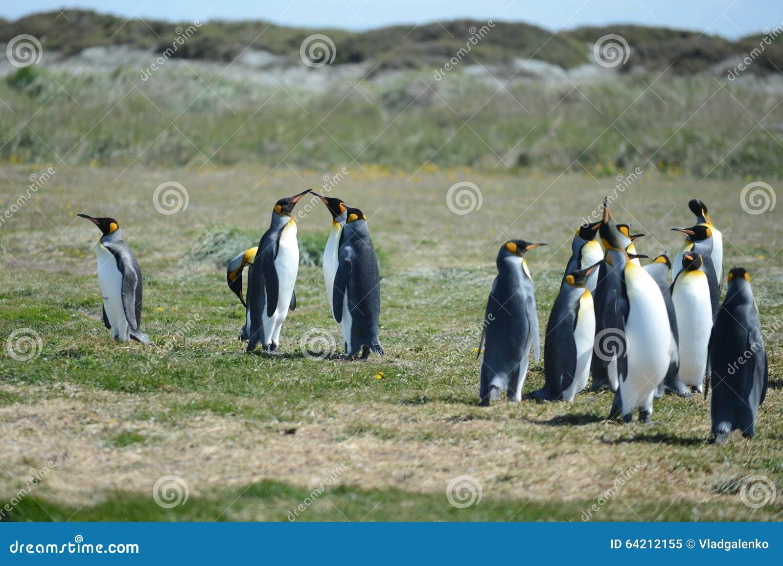 Pingüinos de rey en la bahía de Inutil