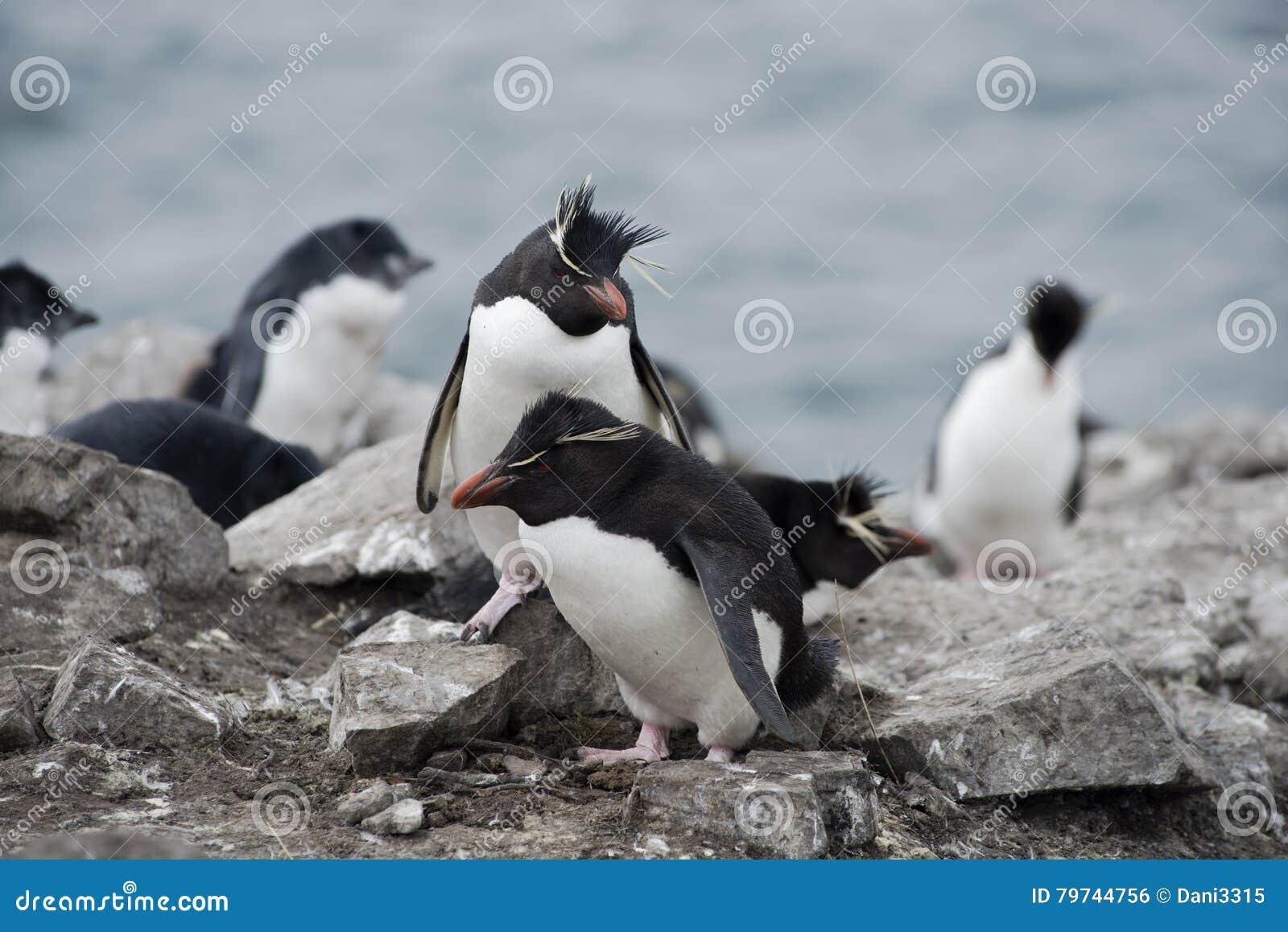 Pingüinos de Rockhopper en Falkland Islands