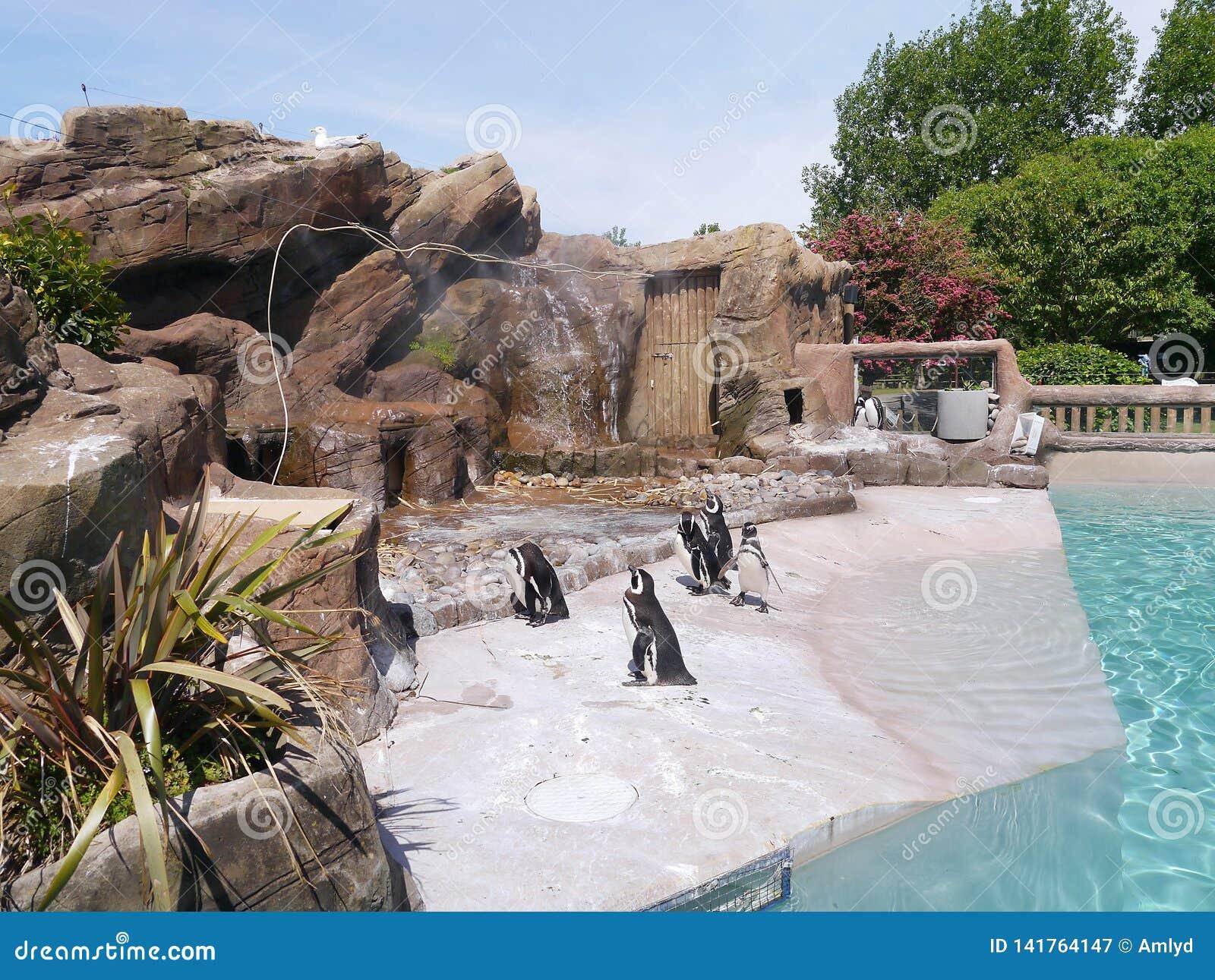 Pingüinos en su área del parque zoológico