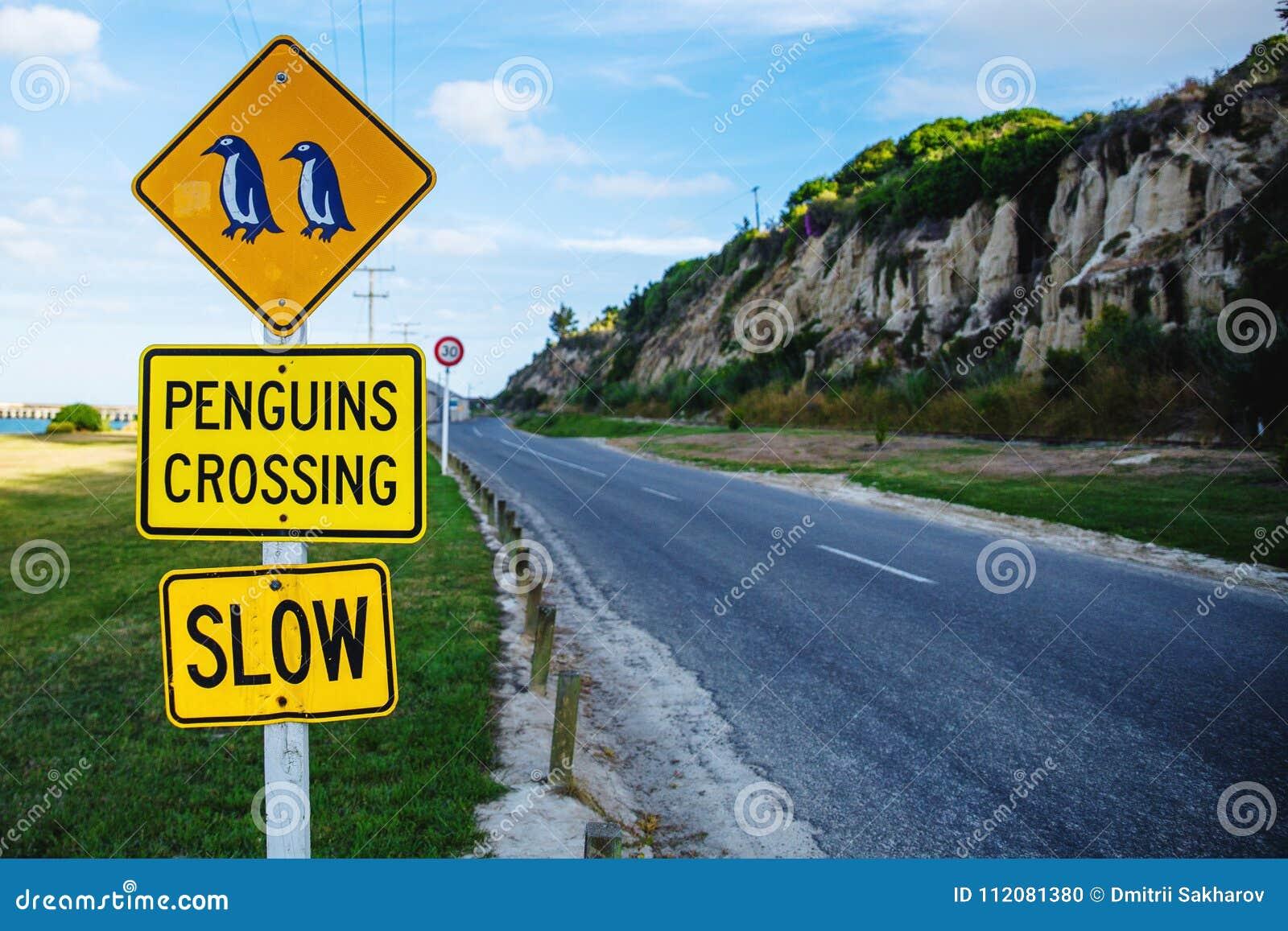Pingüinos que cruzan la muestra cerca de colonia azul del pingüino en Oamaru, Nueva Zelanda