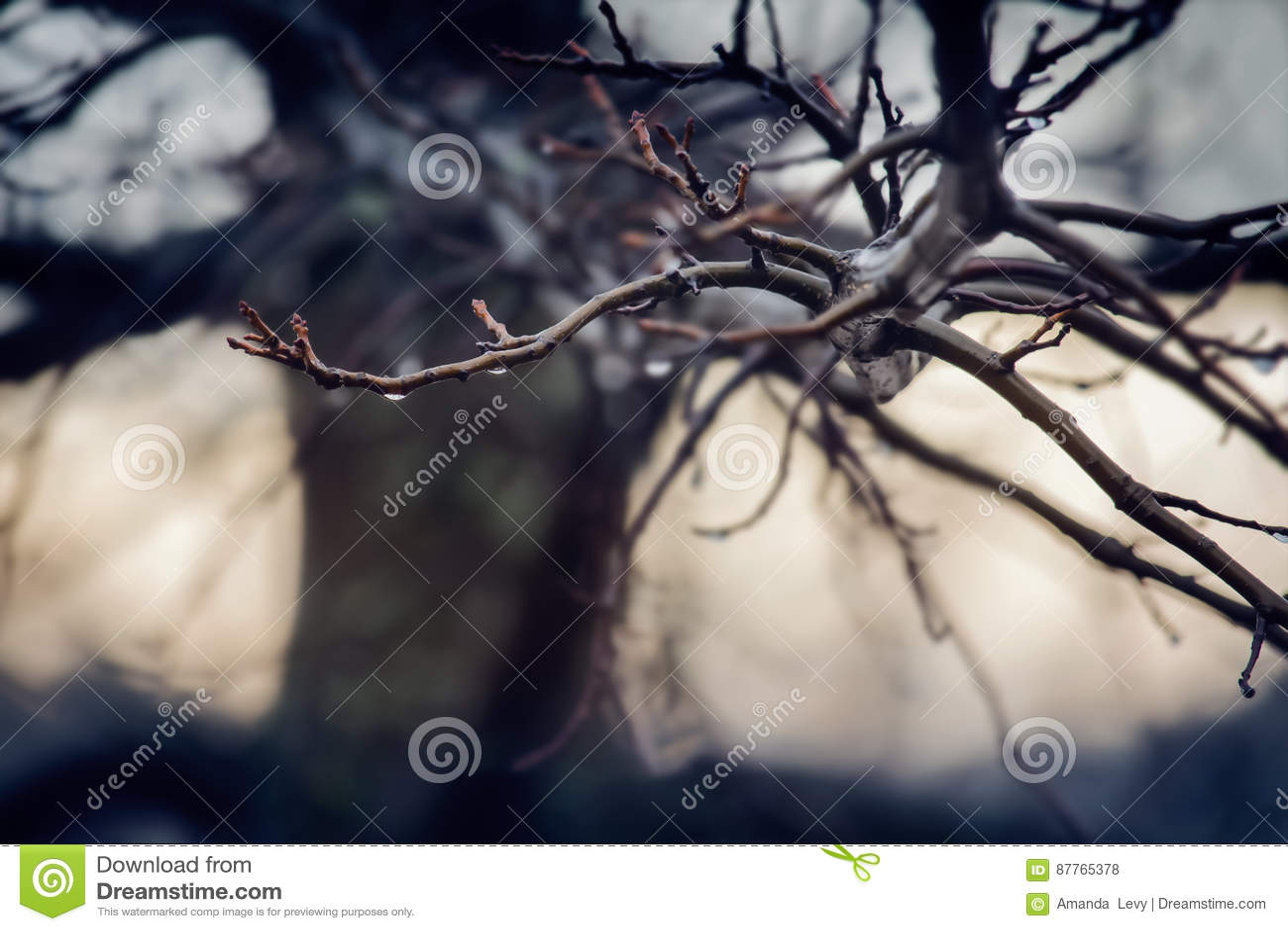 Pingos de chuva em um ramo de árvore desencapado no inverno
