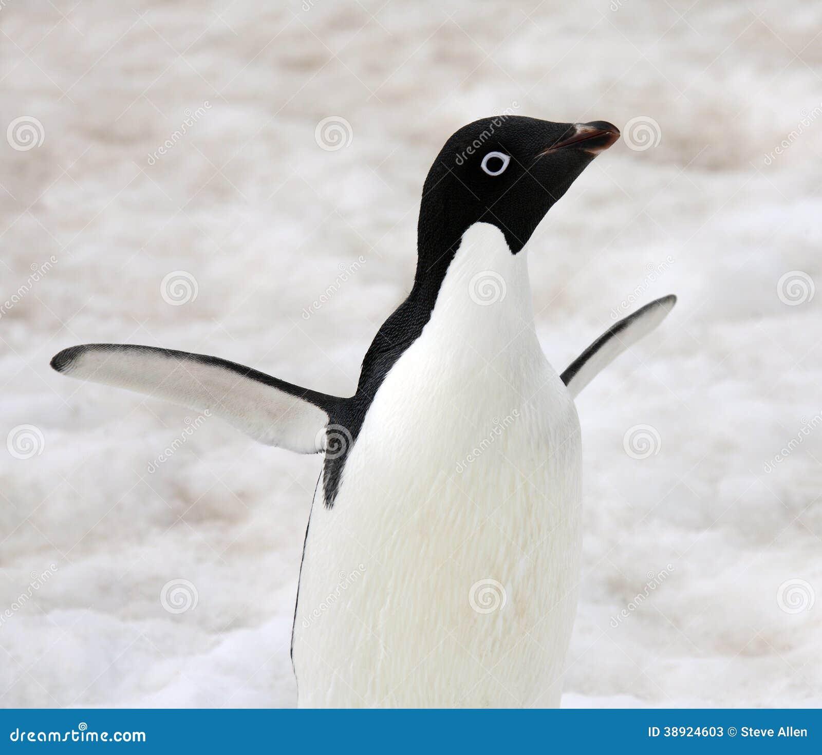 Pingouin d Adelie - Antarctique