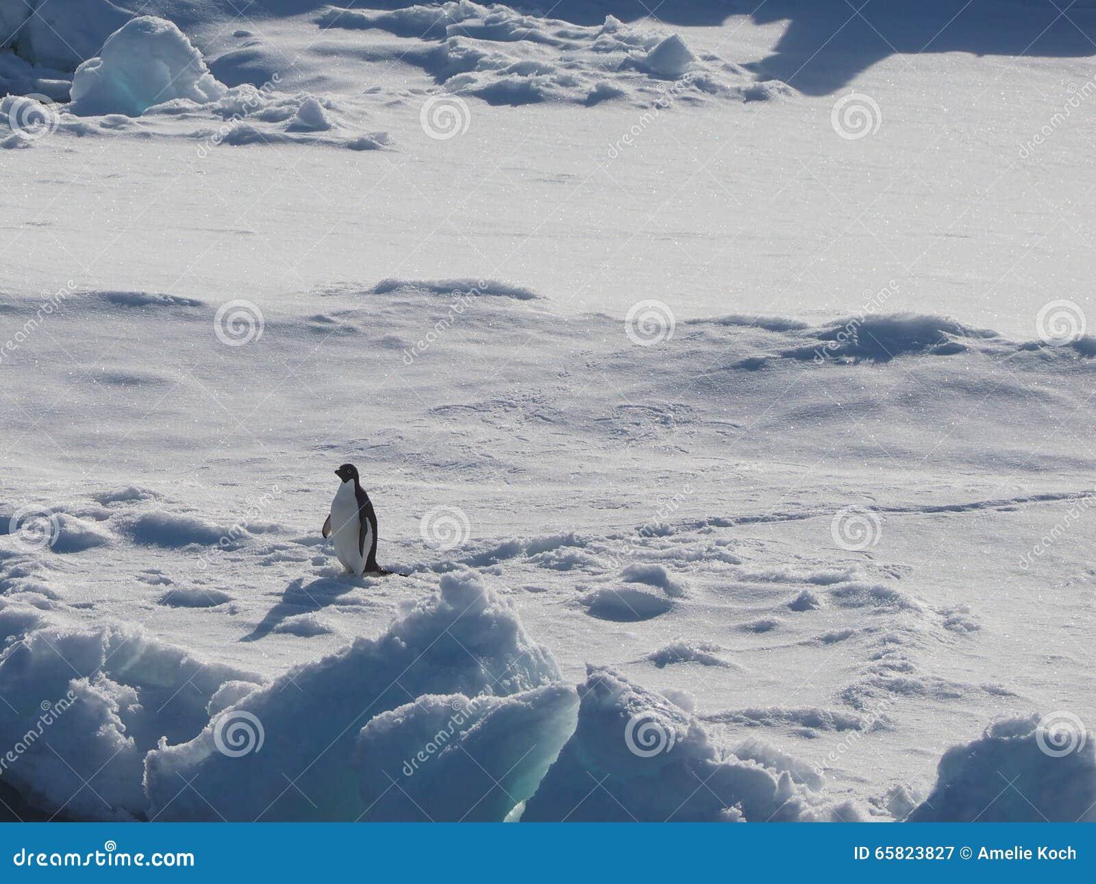 pingouin d 39 adelie sur la banquise en antarctique image stock image du arctique feuille 65823827. Black Bedroom Furniture Sets. Home Design Ideas