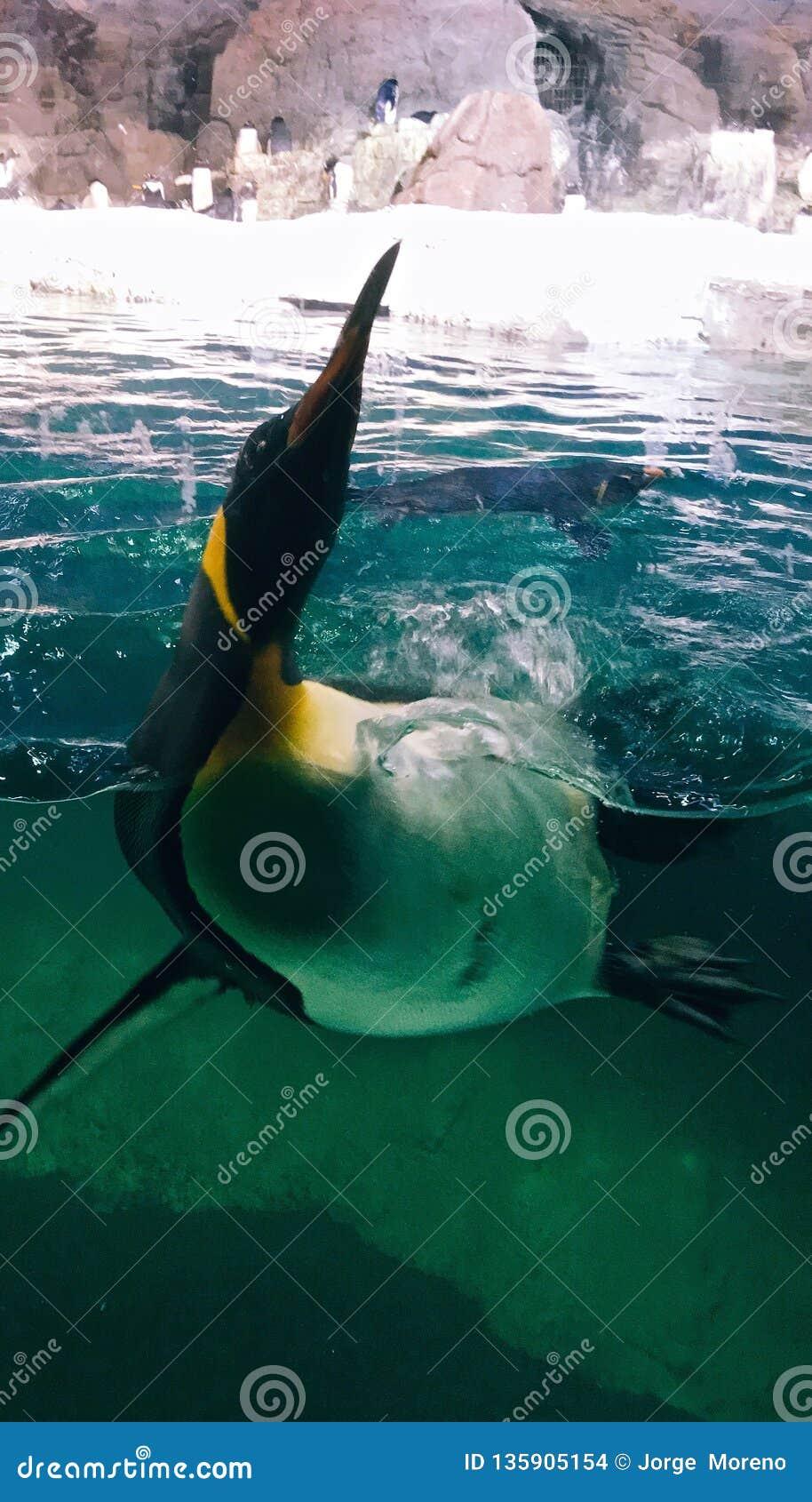 Pingouin dans une natation d aquarium