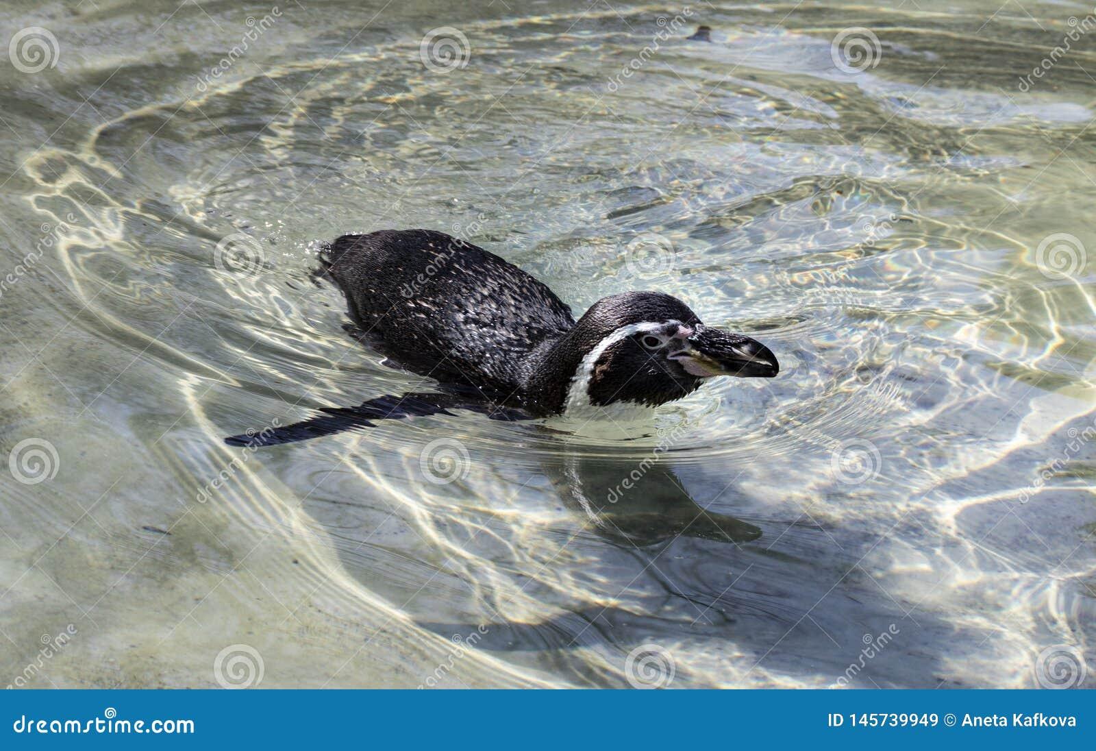 Pingouin de natation dans le zoo