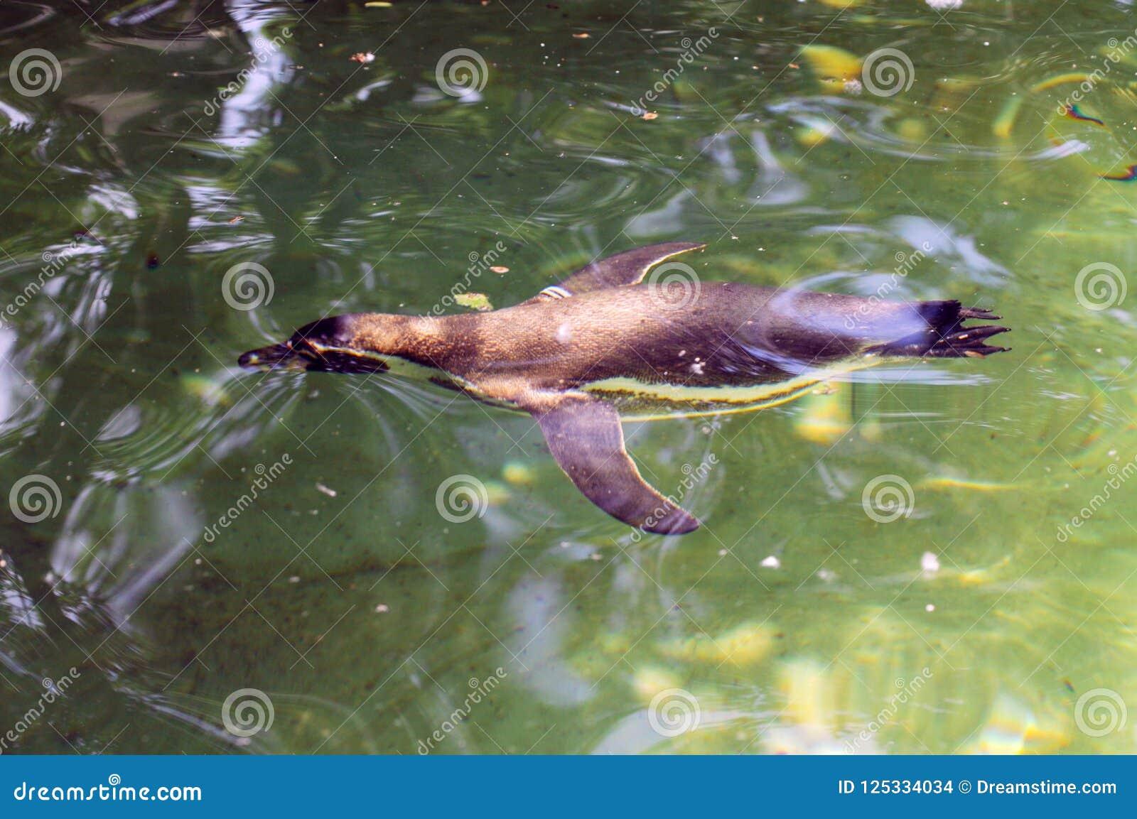 Pingouin de natation dans le zoo de Berlin