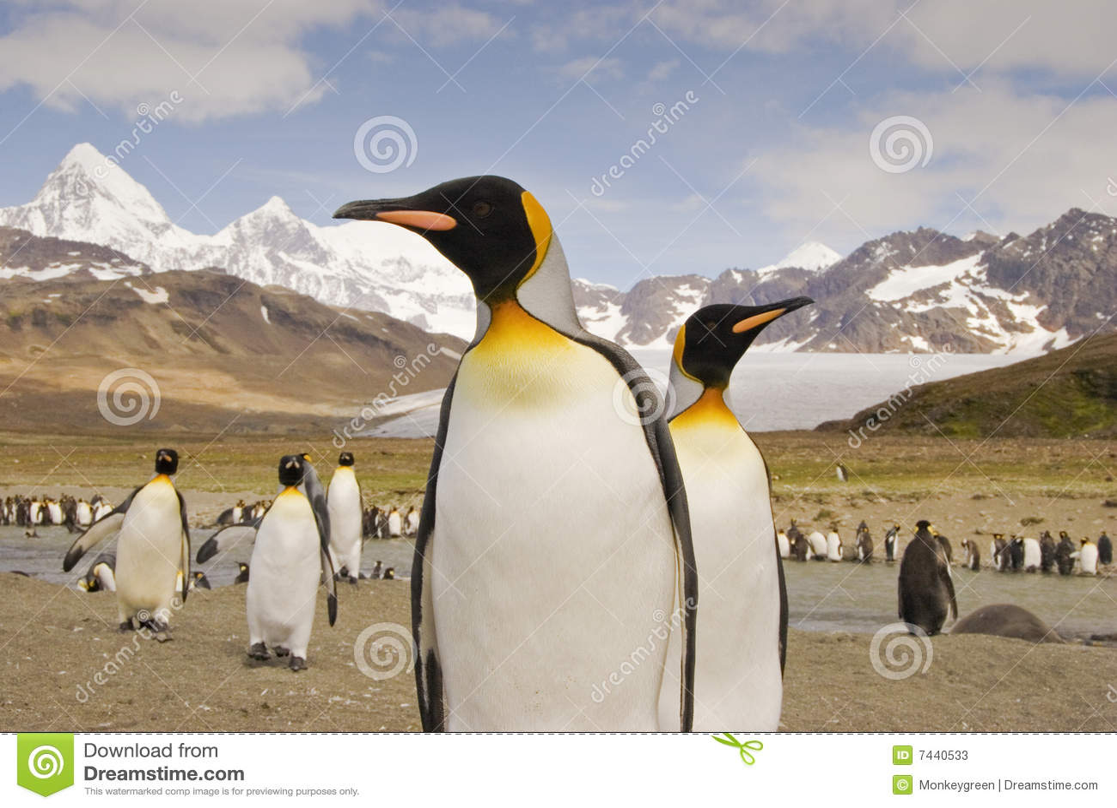 Pingouin de roi de la Géorgie du sud