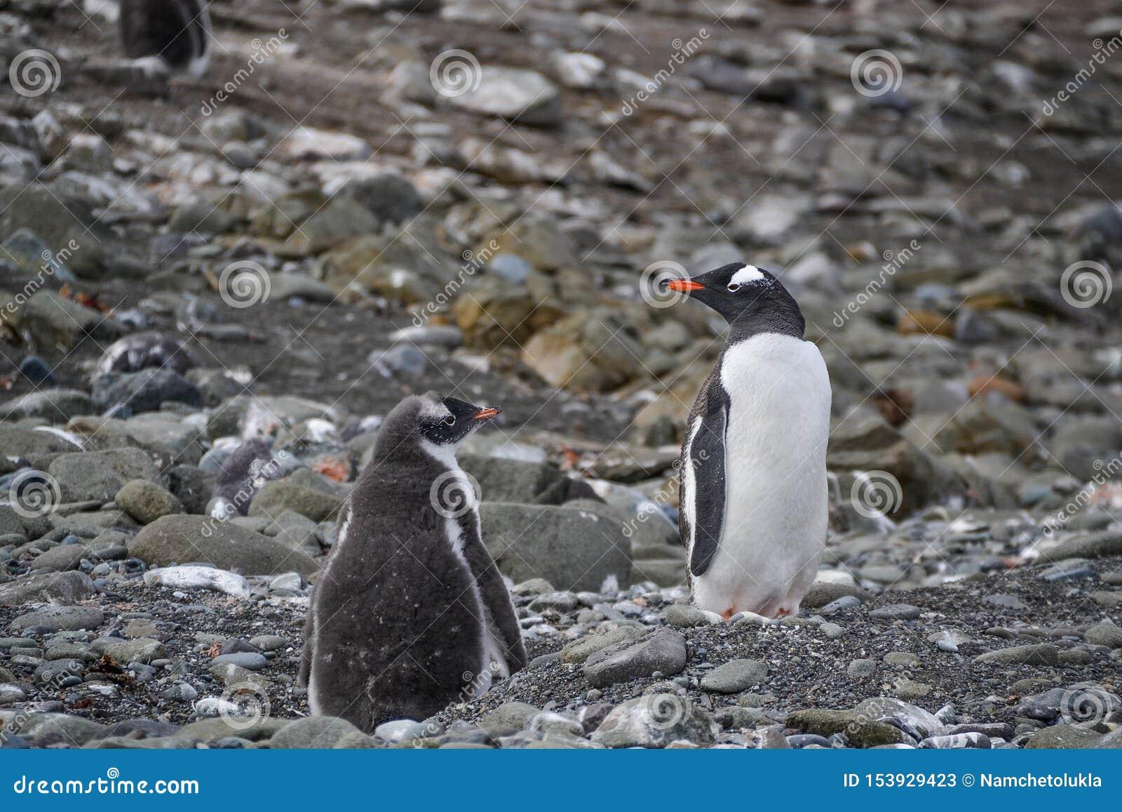 Pingouin et poussin se tenant l un à côté de l autre