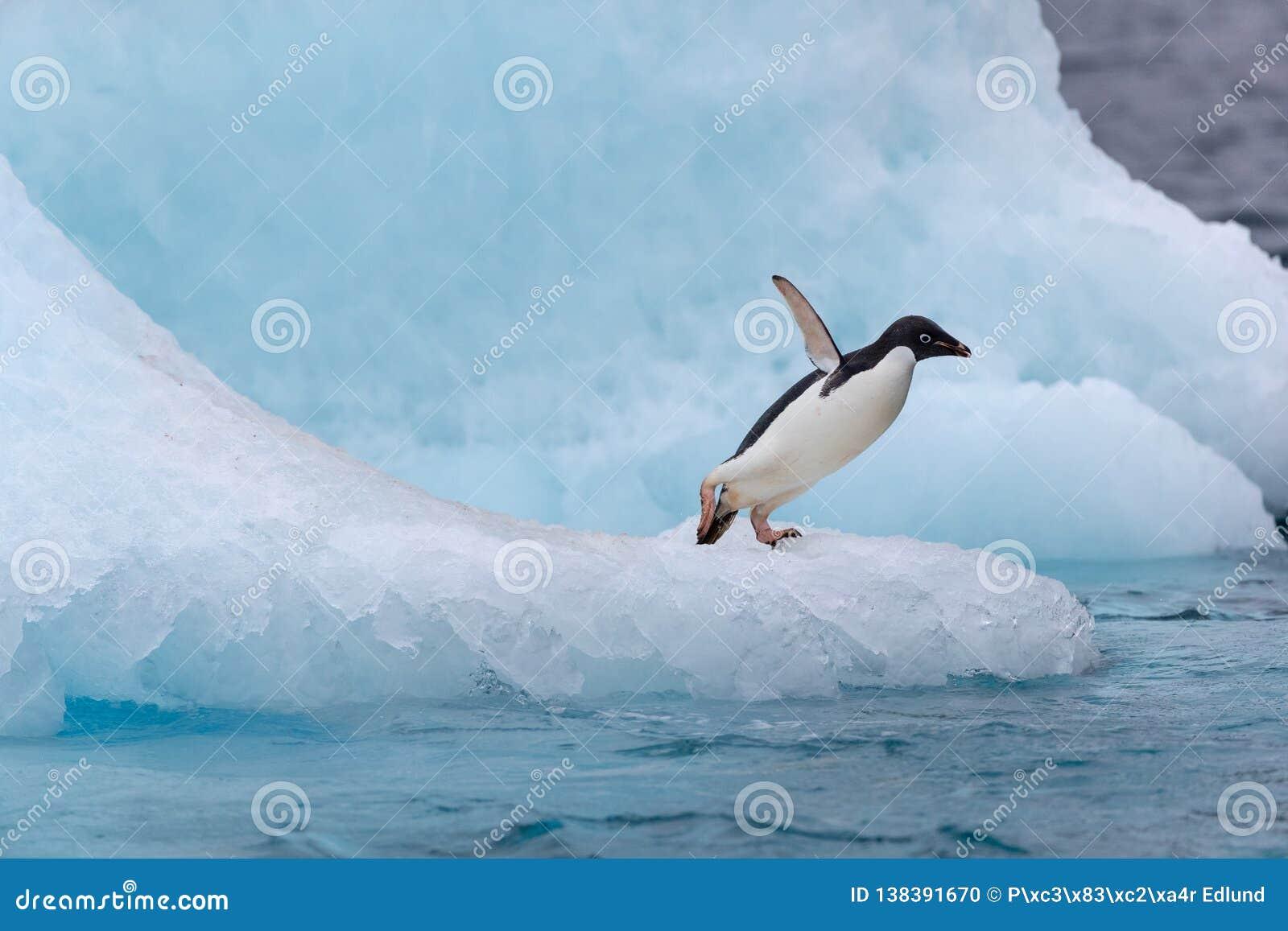 Pingouin sautant Un Adelie et un x28 ; Adélie& x29 ; le pingouin plonge dans la mer d un iceberg