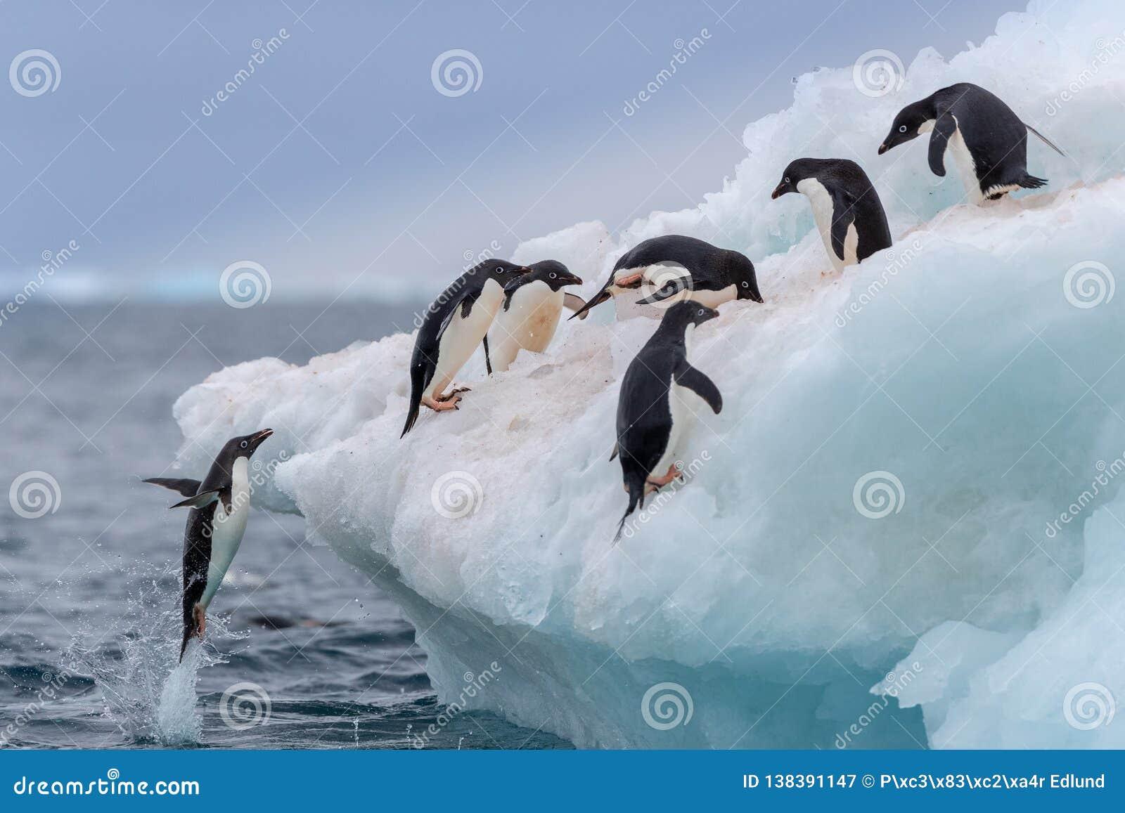 Pingouin sautant Un Adelie et un x28 ; Adélie& x29 ; le pingouin saute dessus à un iceberg