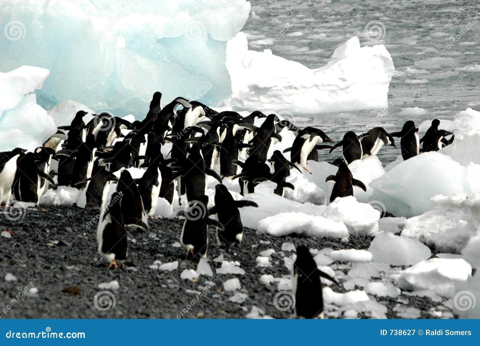 Pingouins d Adelie