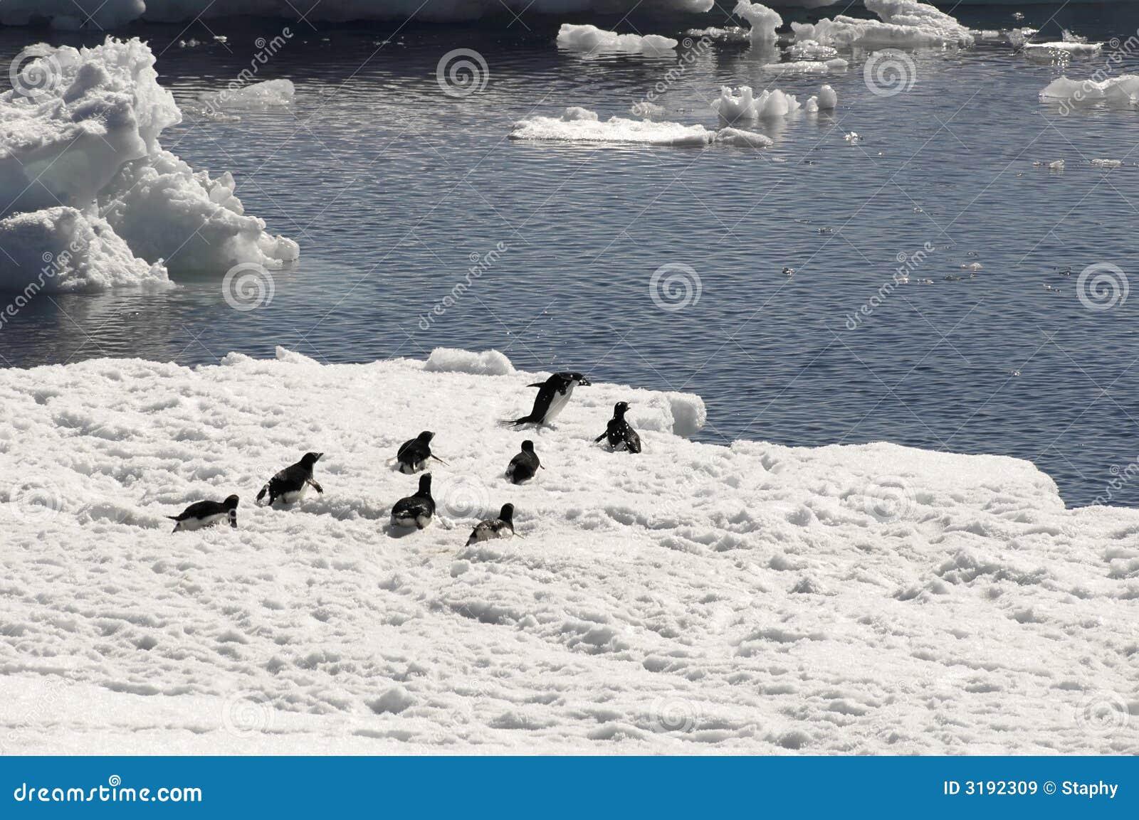 pingouins d 39 adelie sur la banquise image stock image du bleu oiseaux 3192309. Black Bedroom Furniture Sets. Home Design Ideas