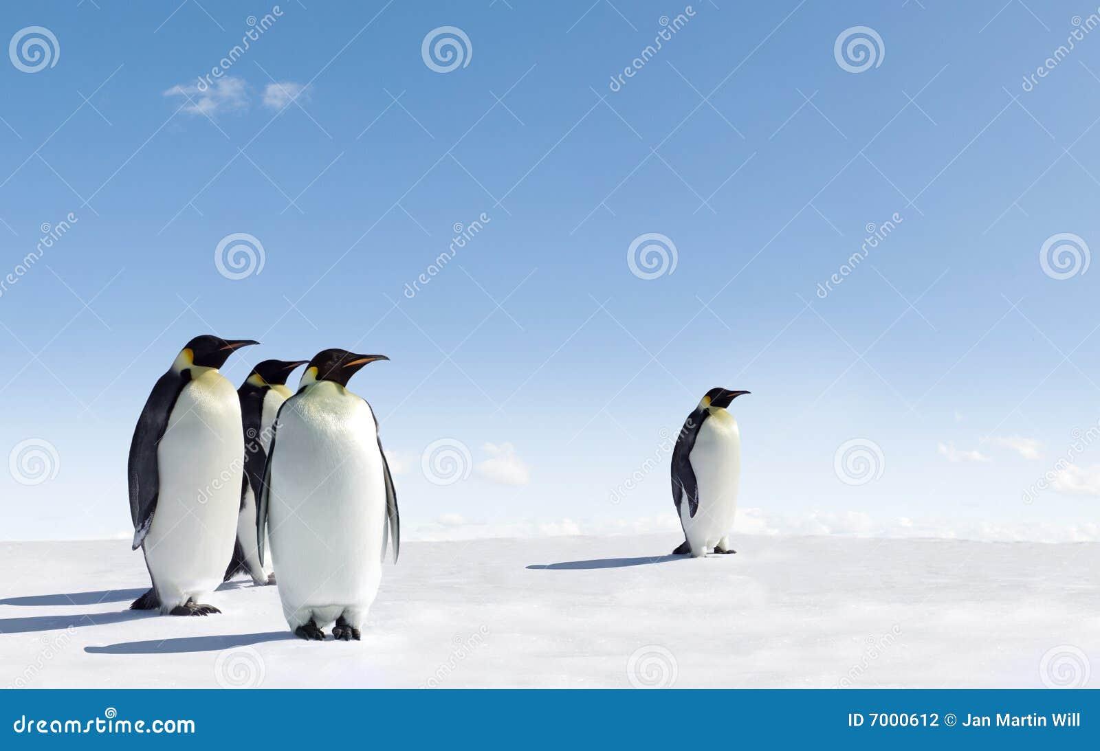 Pingouins de l Antarctique