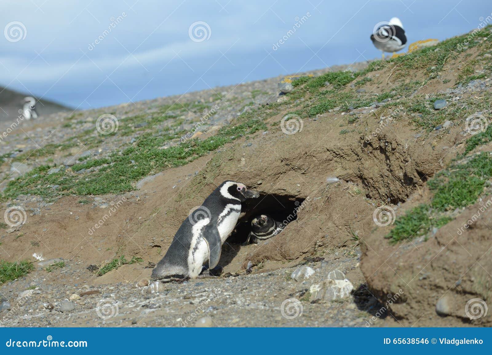 Pingouins de Magellanic au sanctuaire de pingouin sur Magdalena Island dans le détroit de Magellan près de Punta AR