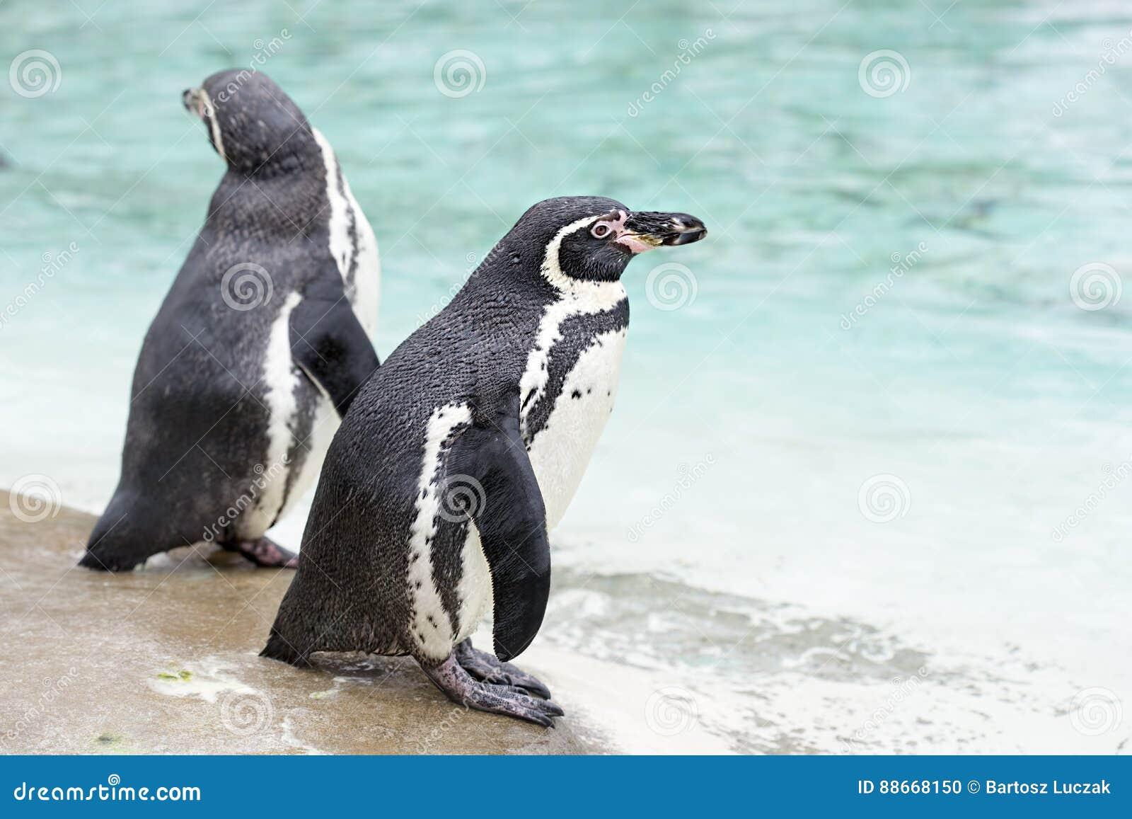 Pingouins par la mer