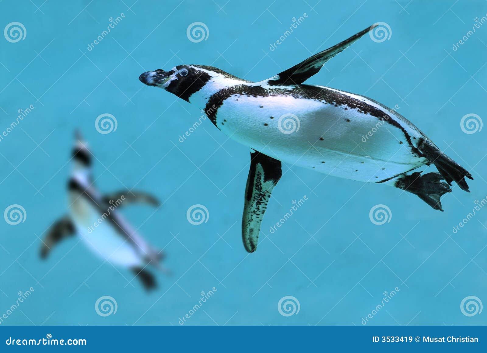 Pingouins sous l eau