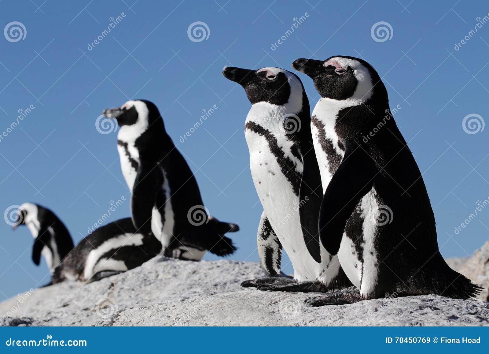 Pingouins sur une roche