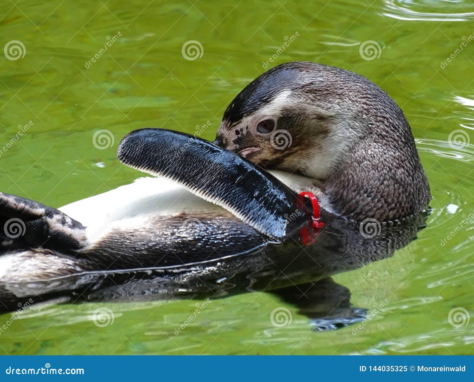 Pinguïn die en in dierentuin in Beieren in Augsburg zwemmen schoonmaken