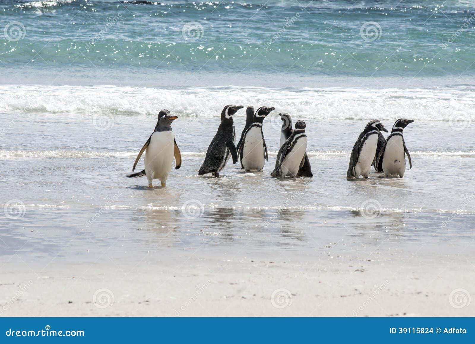 Pinguïnen - Magellan en Gentoo op het strand