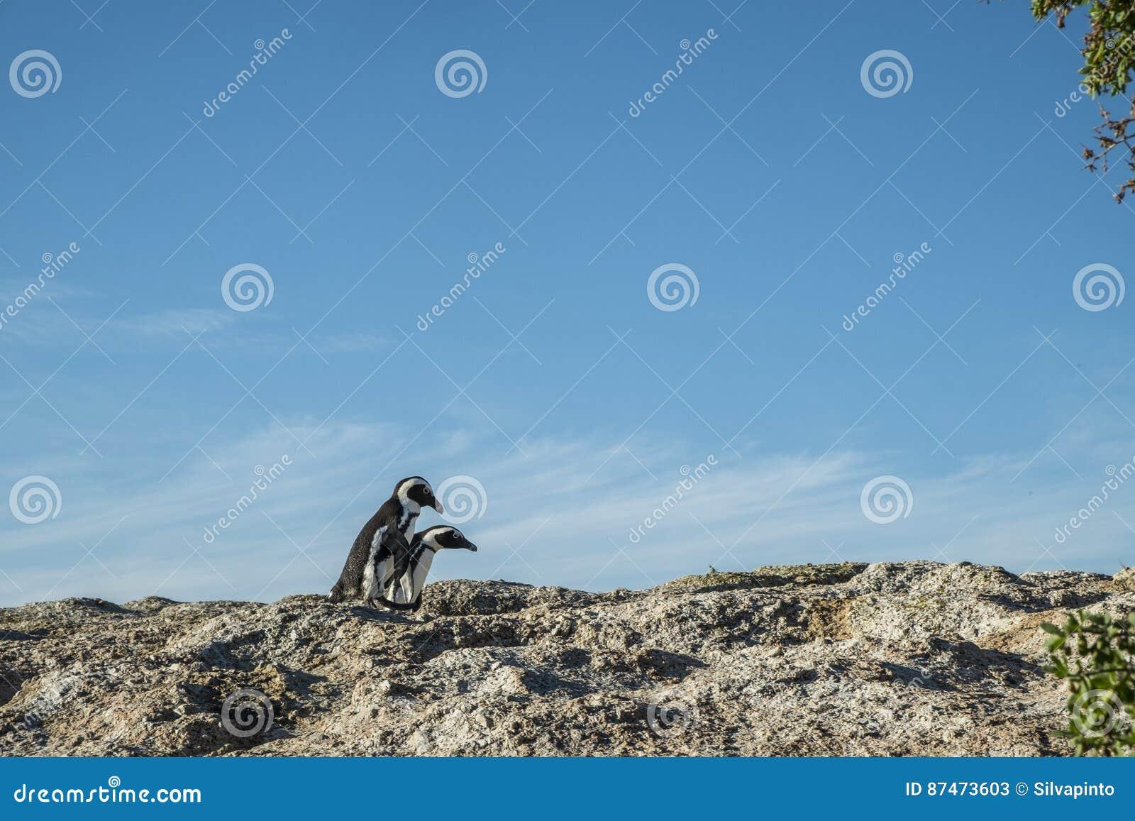 Pinguïnenstrand in Kaapstad