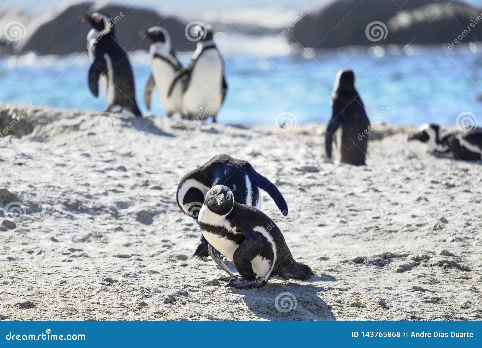 Pingu?nen bij het strand