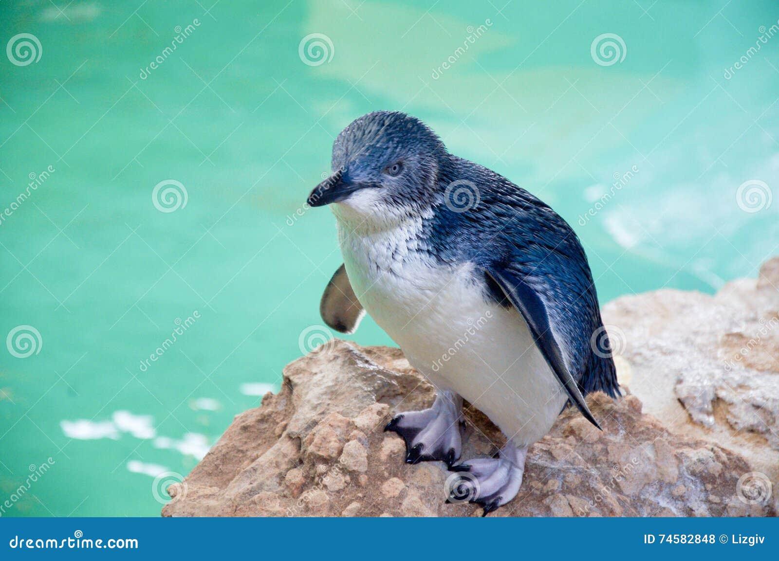 Pinguim azul pequeno: Ilha do pinguim
