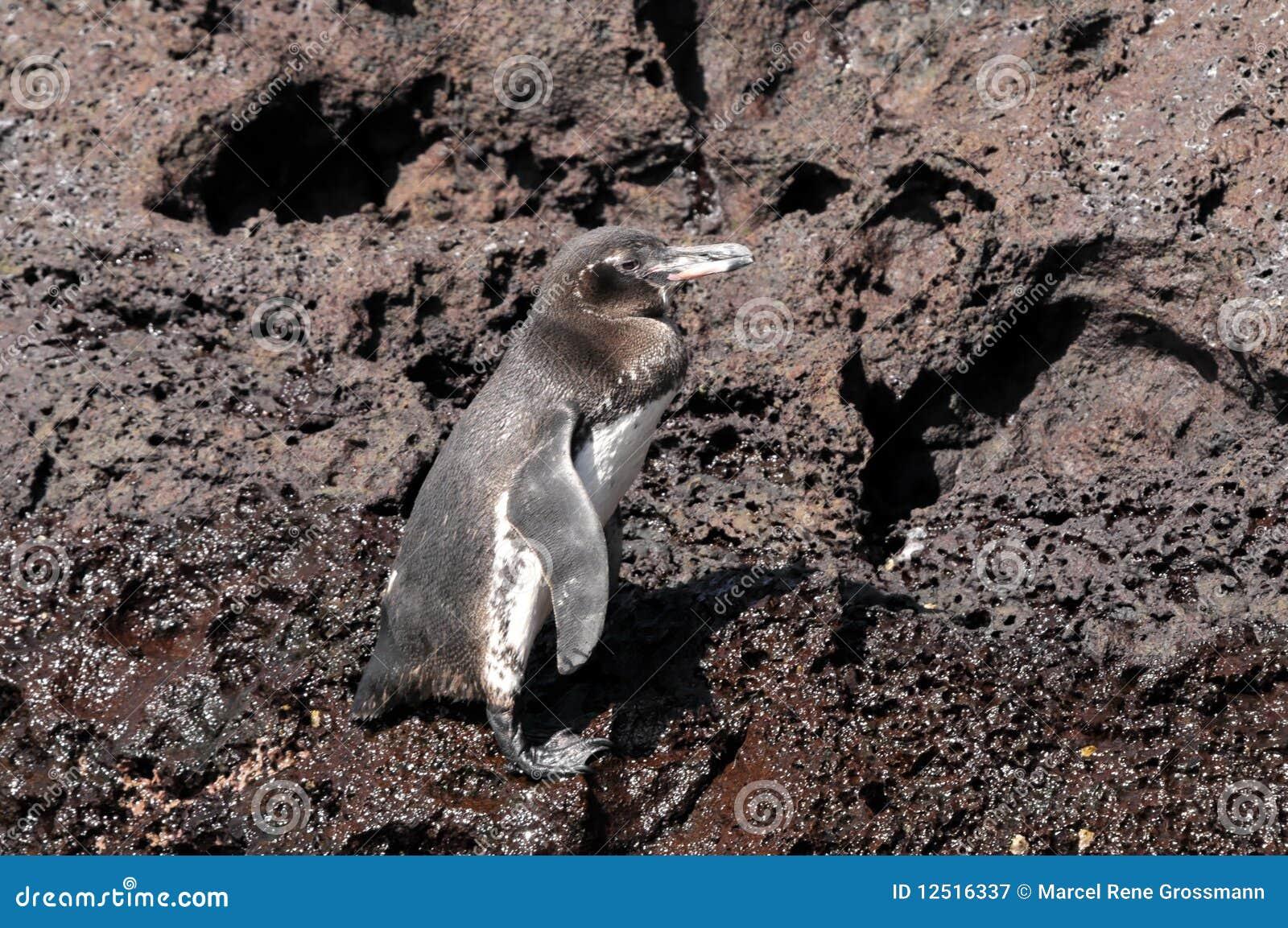 Pinguim de Galápagos